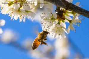 Gabrielli Carlo - ape su fiore di biancospino3   Casentino AR